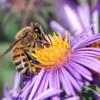 abeille60